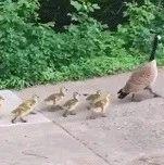 令鸭窒息的母爱!