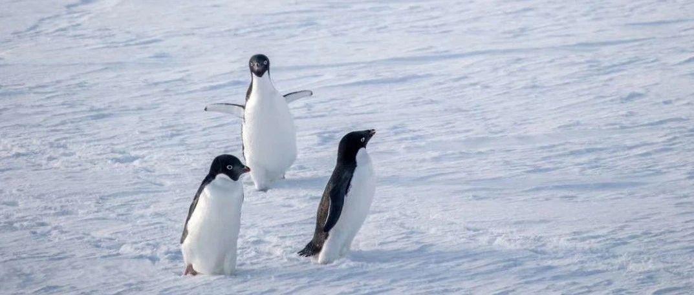 听说有人在南极中暑了?企鹅们还好吗?