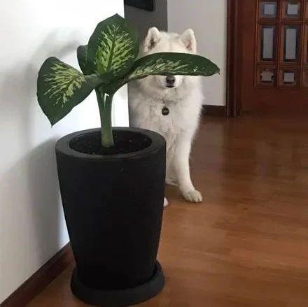 萨摩耶找主人玩捉迷藏,可它藏的方式,不太聪明的样子!