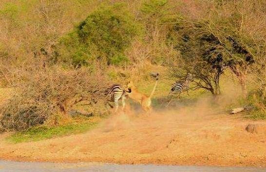母狮猎杀斑马可以说是不在话下,可谁知道斑马也是有一技之长的