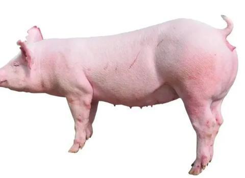 三元母猪配种的精液选择