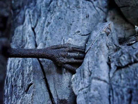 """身处云南的千年菩提树,树干上长出""""佛手""""?曾被称为凤凰菩提"""