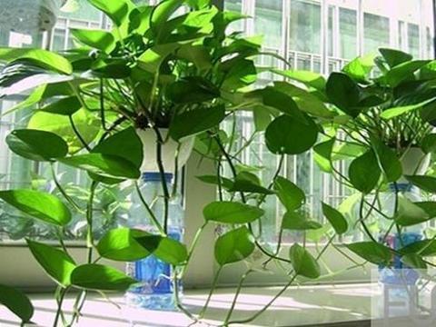 家里养绿萝,摆放位置很重要,叶翠绿长爆盆,别忽视