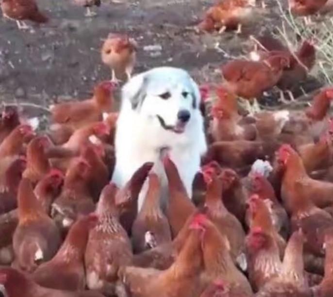 """主人外出办事,让狗狗看守鸡棚,没想到回来发现了一只""""山大王"""""""