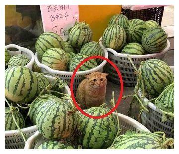 橘猫当街卖西瓜,当有人询问价格时,猫咪的表情瞬间亮了