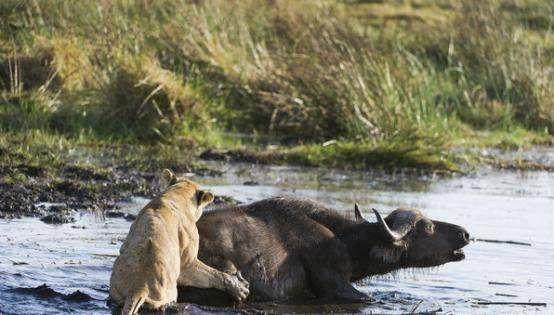 10只狮子围捕落单水牛,水牛能逃脱出来吗?不料意外发生了