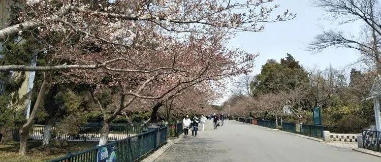 周知!中山公园的樱花开了,想去赏花有要求!附赠放假通知+清明假期天气预报