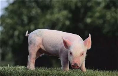 越南:政府采取措施使猪肉价格回到正轨!