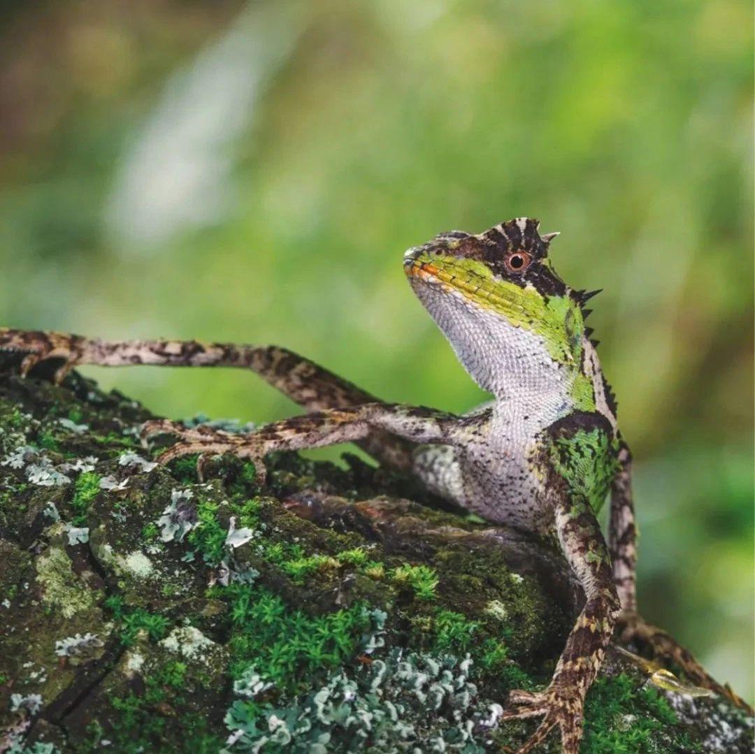 【生物多样性百科】脊椎动物·丽棘蜥:七步不会倒