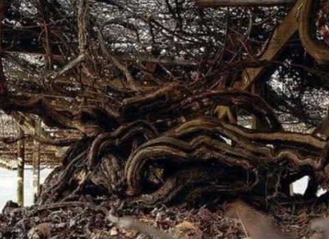 最老的葡萄树,近200岁高龄还能年产7吨葡萄,网友:老当益壮