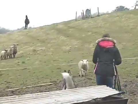 二哈兼职牧羊犬,被小羊追着撞,羊羔:遇到了一只怂包狼