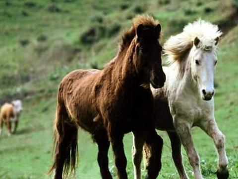 """世界上""""血统最纯""""的马,只能在冰岛生存,比汗血宝马还宝贵!"""