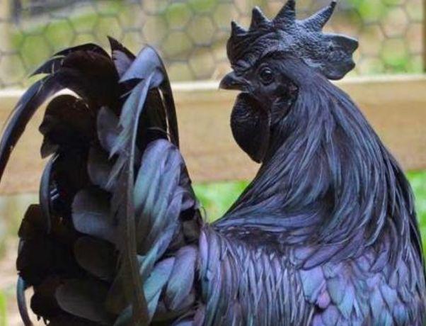 世界上最贵的鸡,下的蛋都是黑色的,很多人都吃不起!