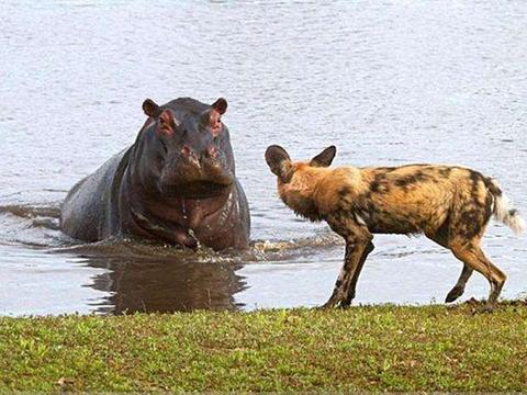 """野狗想要掏肛河马, 河马笑了! 河马: """"不锈肛""""滋味如何?"""