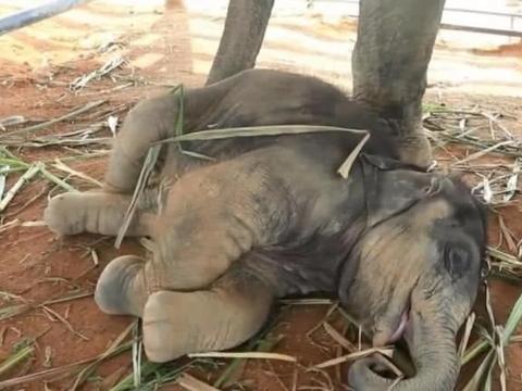 饲养员玩弄小象鼻子,小象一位被调戏,一脸娇羞蹭进饲养员怀中