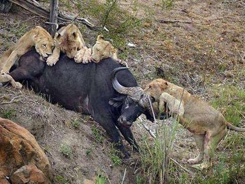 野牛大战群狮, 野牛: 死也要拉个垫背的!