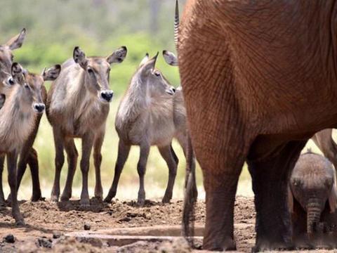 """小象不慎掉入坑中,母象""""见死不救""""反而是好事"""