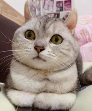 猫咪趴在手机上面取暖,用浑身肉肉来阻止主人,谁让你手机散热差
