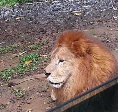 为了给狮子解闷,管理员丢进去了几只狗,结果让游客目瞪口呆