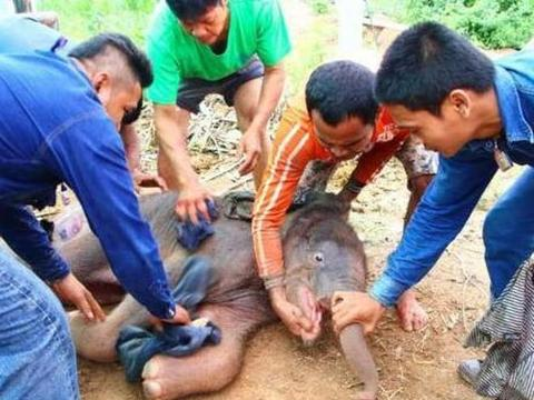 小象出生后被母象狂踹,没想到,这背后隐藏的是伟大的母爱!