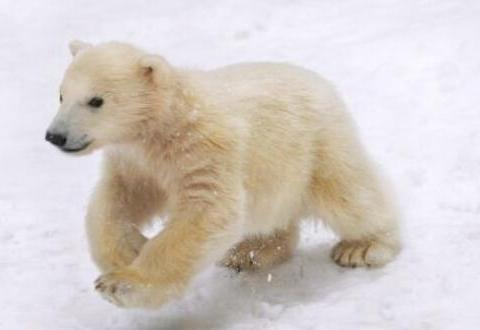 小北极熊顽皮过头一口咬住妈妈尾巴,几秒后妈妈的反应暖化人心
