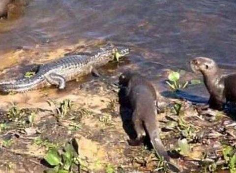 水中霸王鳄鱼也有天敌,遇到水獭之后秒变怂,直接被吞下成午餐
