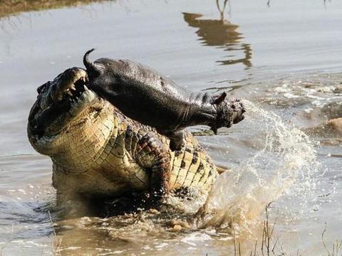 河马被巨大的鳄鱼咬住后腿,却不吃食小河马,小河马生无可恋了