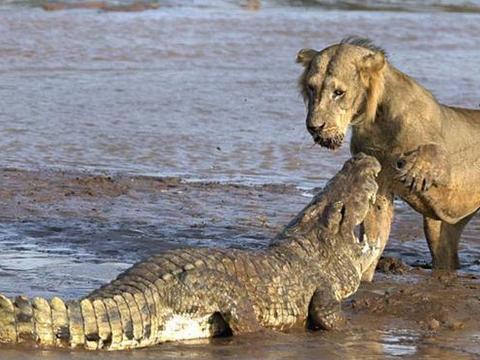 雄狮想将鳄鱼当成美食,却被鳄鱼吓住,不甘示弱叫来同伴后