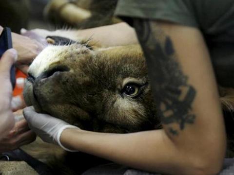 """狮王被迫接受肿瘤摘除术,动刀拽舌头各种""""折磨""""后狮子懵圈了"""