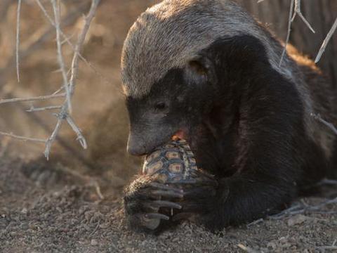 连老虎鳄鱼有时都搞不定的小东西,碰到蜜獾后立马就死翘翘了