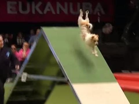 狗狗犬赛上失误撞到栏杆,翻滚360度,用脸刹才停了下来