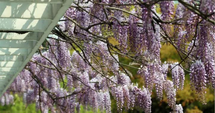 紫藤花开如瀑 邂逅一场紫色浪漫
