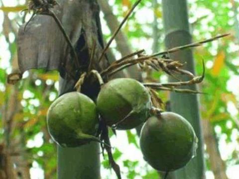 在乡下看见竹子上长着绿色果子, 询问农民后,男子高兴的摘了卖
