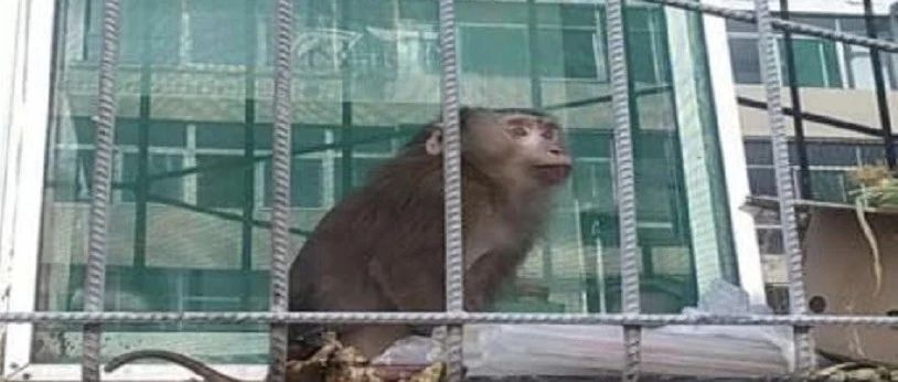 太原一小区内惊现国家一级保护动物豚尾猴