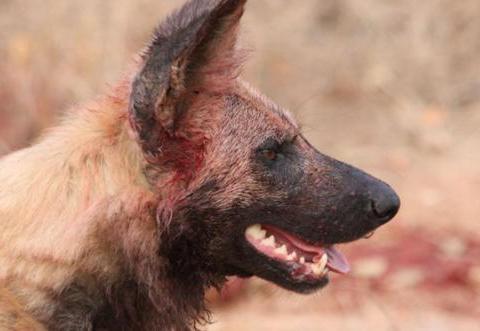 鬣狗咬死野狗正在食用,被咬死野狗的同伴赶来报仇,结局可想而知