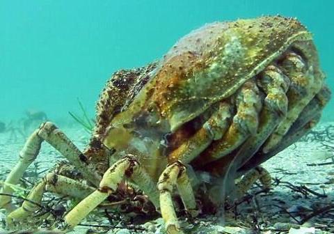 蜘蛛蟹脱壳的过程,其疼痛不亚于鹰的重生。生物传承真是可怕