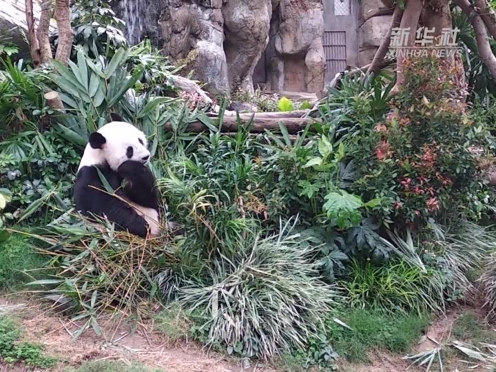 香港海洋公园一对大熊猫成功实现自然交配