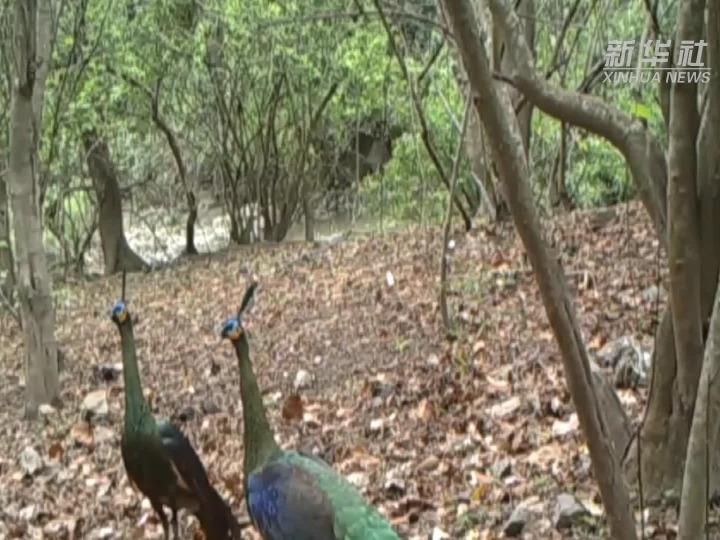 HI,我是绿孔雀,谢谢还我的栖息地!