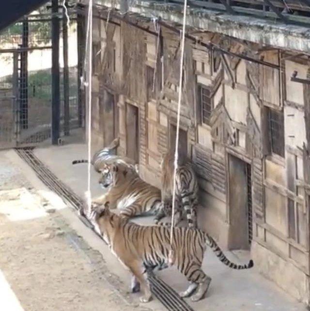 """网传云南野生动物园收费""""钓老虎"""",园方:实为喂虎已整改停止"""