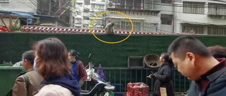 """大王叫我来巡山,我去菜场解解馋!黔灵山小猴子天天踩着""""饭点""""来菜场……"""