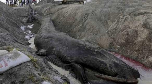 沙滩出现搁浅巨兽, 游客齐心协力拯救困顿中巨型生物
