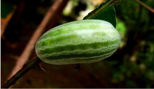 女子野外发现一小西瓜,伸手去拿的时候,被吓得立马扔掉
