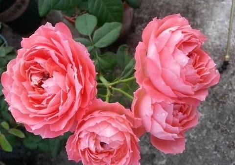 此花颜值不输玫瑰,多次获园艺奖,花期超长,清香四溢