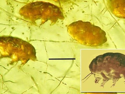"""科学家在琥珀中找到一只""""猪"""",长0.007厘米,有3000万年历史"""