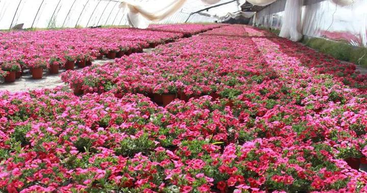 数百亩鲜花绽放,平谷花卉基地复工忙