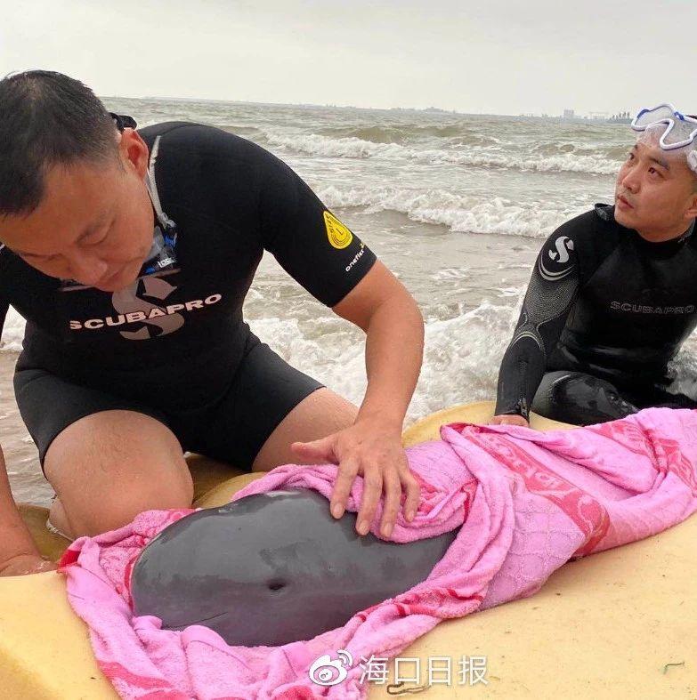 海口西海岸一江豚搁浅,正在接受救治