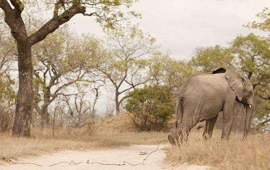 大象缓慢走路, 原来脚上拖着一奇怪东西, 看清后人们很愤怒!