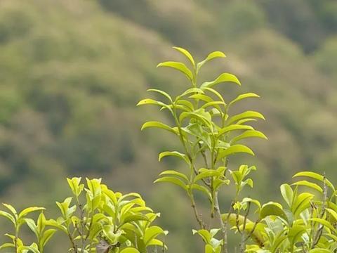 潮州凤凰茶山架起空中索道,成为茶园中独特的风景