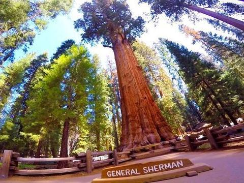 春秋战国生长至今的大树,重量高达2800吨,堪称世界之最!