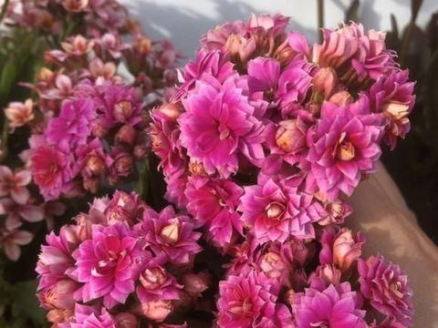 """春天长寿花,喂上""""两种肥"""",浇点""""催花水"""",六七月绝对爆花"""